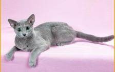 俄罗斯蓝猫的饲养经验分享