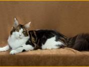 缅因猫纯黑色很多人喜欢,黑色缅因猫价格在8千~1.5万