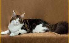 【缅因猫舍】缅因猫幼猫最明显的生长发育特征