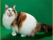 如何判断猫咪是否有猫皮肤病?