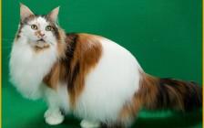 缅因猫价格的高低,不是只看颜色,看颜色和品相的综合