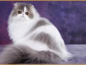 波斯猫什么价格?波斯猫多少钱一只?