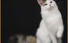 缅因猫开销一个月吃多少猫粮_花费多少?