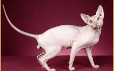 斯芬克斯猫多少钱_斯芬克斯猫的价格_斯芬克斯大概什么价?
