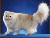 如何延长波斯猫的寿命?
