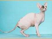 斯芬克斯猫容易生病吗?斯芬克斯猫生病的表现