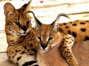 【薮猫】养薮猫合法吗?薮猫价格多少钱?