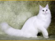 【缅因猫】关于缅因猫颜色的分类介绍