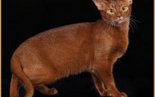 阿比西尼亚猫颜色,谈阿比西尼亚猫红色