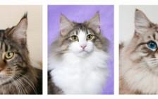 西伯利亚森林猫、缅因猫、挪威森林猫的鉴别区分