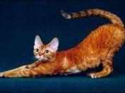 德文卷毛猫什么颜色贵?德文卷毛猫最贵的颜色?