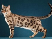 公猫绝育手术多少钱?公猫绝育手术后应该怎么护理?