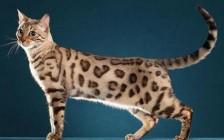猫传染性腹膜炎、猫传腹的症状表现有哪些?