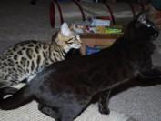 豹猫有全黑色的吗?谈全黑系豹猫