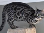 谈孟加拉豹猫深色中的木炭色孟加拉豹猫