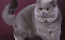 英国短毛猫性格好吗?英国短毛猫性格咋样?