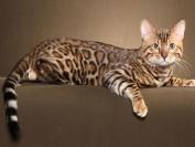 《孟加拉豹猫回新家注意事项篇》