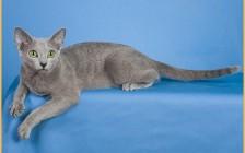 纯种俄罗斯蓝猫怎么辨别鉴定?