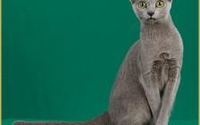 纯种俄罗斯蓝猫价格分析