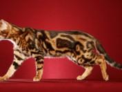 孟加拉豹猫颜色大全,谈孟加拉豹猫颜色种类