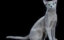 俄罗斯蓝猫眼睛颜色的变化过程