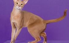 阿比猫颜色介绍,谈阿比西尼亚猫鹿色