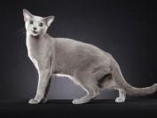 蓝猫是什么猫?蓝猫价格多少钱一只?