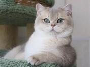 英短蓝渐层价格,蓝金渐层猫一般多少钱?