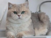 英短蓝金渐层猫多少钱?蓝金渐层为什么贵?