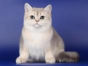 英国短毛猫几种颜色?CFA官方44种英国短毛猫颜色分类