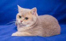 英国短毛猫买什么颜色?英国短毛猫颜色及价钱