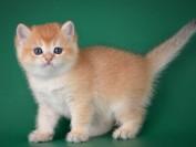 英短金渐层猫多少钱一只?英短金渐层猫价格