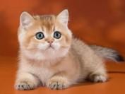 皇家奶糕猫粮营养成分怎么样?