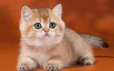 英国短毛猫颜色,谈WCF英短花色繁育表