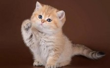 金渐层猫怎么看品相?英短金渐层怎么看品相?