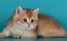 金渐层猫性格怎么样?谈英短金渐层性格