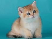 英国短毛猫的性格特点,谈英国短毛猫的性格