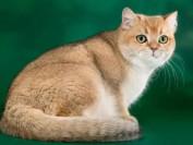 金渐层是什么品种猫?金渐层猫百度百科