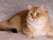 英短金渐层猫怎么看品相?怎么看金渐层纯不纯?