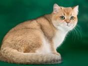 CFA英国短毛猫猫舍,谈正规英短猫舍