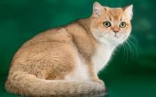 猫基底细胞瘤较为常见,暹罗猫、喜马拉雅猫、波斯猫更易发生良性基底细胞瘤