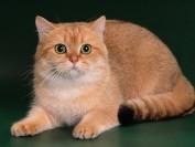 猫曲霉菌病是猫的一种不太常见的真菌病,猫曲霉菌病在年轻猫更为常见
