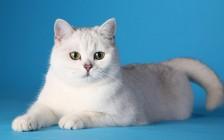 英短银渐层性格特点,银渐层猫脾气好么?