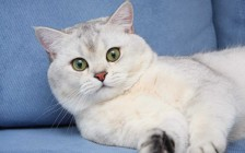 银渐层猫性格怎么样?英短渐层银的性格特点