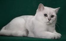养英短银渐层注意事项,养渐层猫要注意什么?