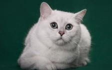 英短银渐层聪明吗?英短渐层猫聪明吗?