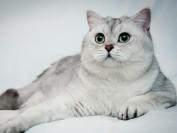 英短银渐层猫怎么养?银渐层猫喂养方式