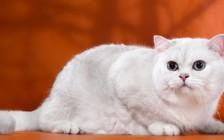 猫的慢性支气管疾病,猫慢性支气管炎及哮喘症状