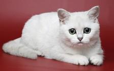 英短银渐层价格多少?银渐层猫多少钱一只?