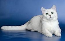波斯猫的特发性面部皮炎,喜马拉雅猫、波斯猫脏脸综合征